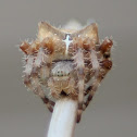 Cat-Faced Orb Weaver
