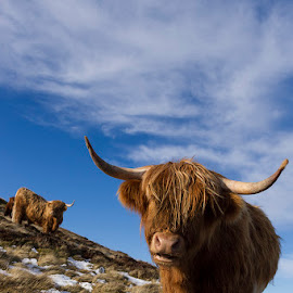 Highland cattle by Vasilis Tsitlakidis - Animals Other Mammals ( clouds, scotland, pentlands, sky, edinburgh, hillall rights reserved © v.t. photography, grass, snow, cow, highland cattle, animal )