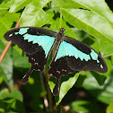 Green Banded Swallowtail (male)