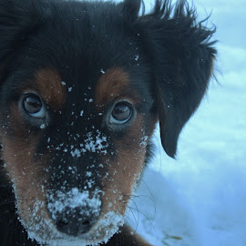 Octane by Maddi MacMahon - Animals - Dogs Puppies ( playing, cold, ice, outdoor, snow, bernese, puppy, octane, dog, mountain dog )