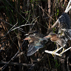 Green Heron (Fledglings)