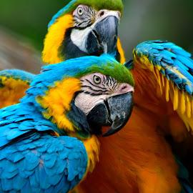 Blue and Yellow Macaw by Jose Matutina - Animals Birds (  )