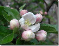 garden apple blossom