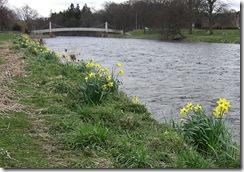 daffs below the flood line5