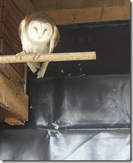 clyde valley barn owl