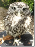 clyde valley little owl2