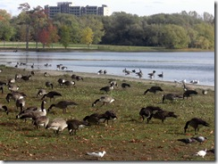 midland geese2