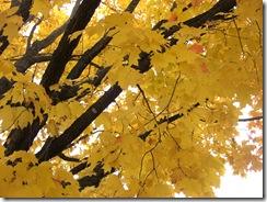 manotick maple
