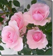 alnwick garden pink roses