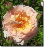 alnwick garden peach rose