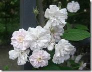 alnwick garden climbing rose