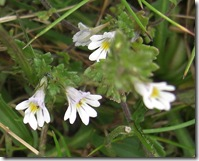 doune eyebright
