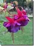 craigieburn fuchsia2