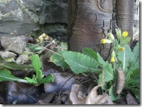 january cowslips