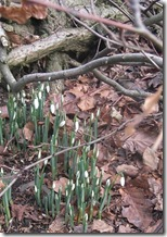 jan snowdrops in bloom