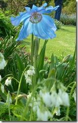 kailzie himalayan poppy