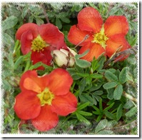 potentilla red robin