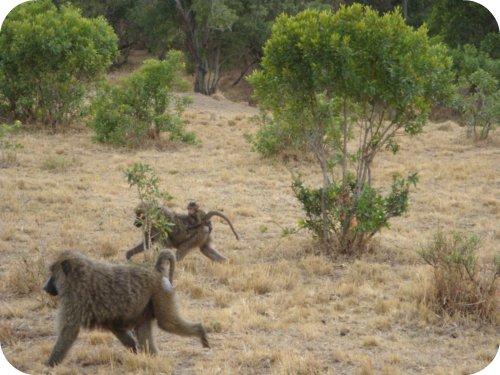 baboons running