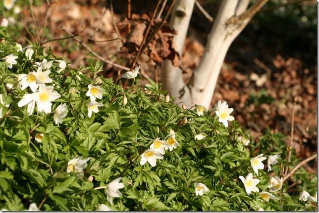 Wood anemone Betula utilis var. jacquemontii