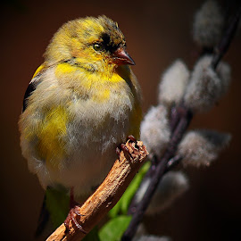 Juvenile Male American Gold Finch by Paul Mays - Animals Birds ( bird, gold finch, nature, birds, kentucky )