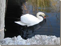 WK 2 Swans