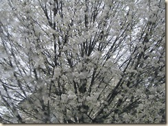 WK 2 White tree