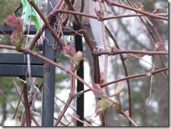 WK 3 Grapevine