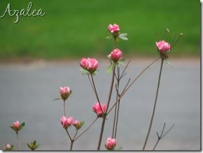 May 21 Azalea