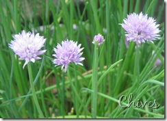 May 21 Chives
