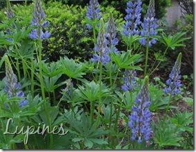 May 21 Lupins