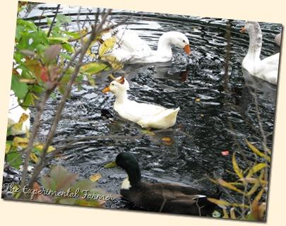 Goose gaggle 3