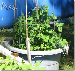 June 7 Peas