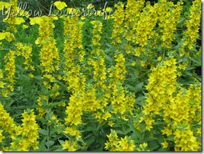 June 7 Yellow Loosestrife