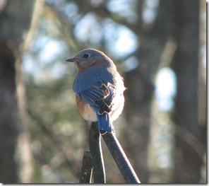 12 11 Bluebird
