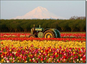 Tulips TRACTOR