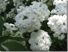 bridal wreath 006