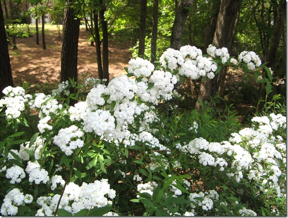 bridal wreath 003