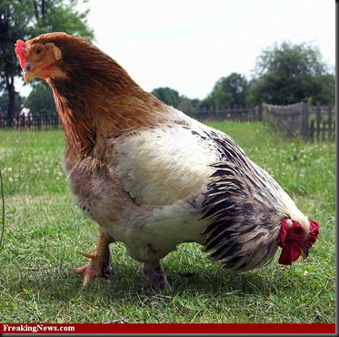 Rooster-Hen--32465