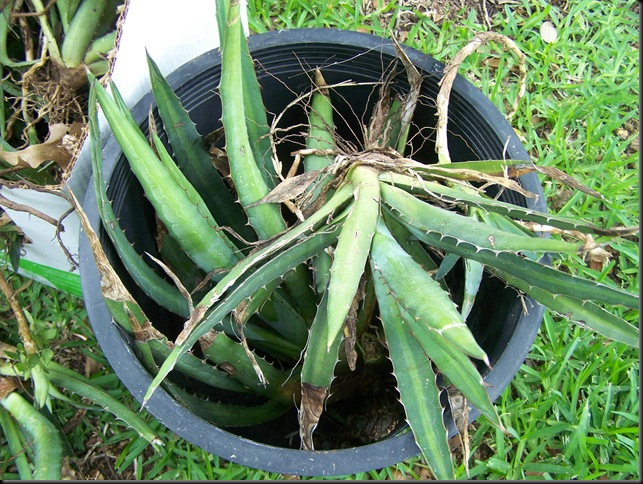 agave bucket