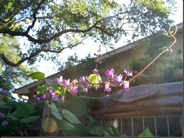 hyacinth bean 2