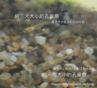 990907-孔雀魚小魚近拍