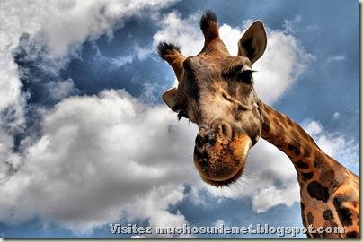 Monde animal-girafe