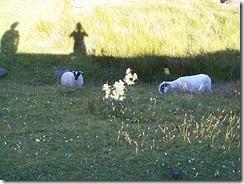 Sheep on Isle of Skye