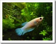 Betta-Fish-Picture-16