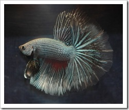 Betta-Fish-Picture-13