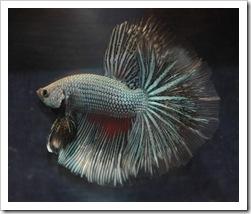 Betta-Fish-Picture-13