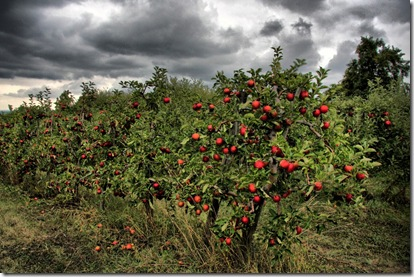 apple orchard uc_4139 (1024x683)