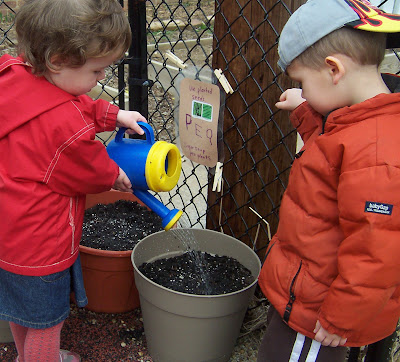 Watering pea seeds.