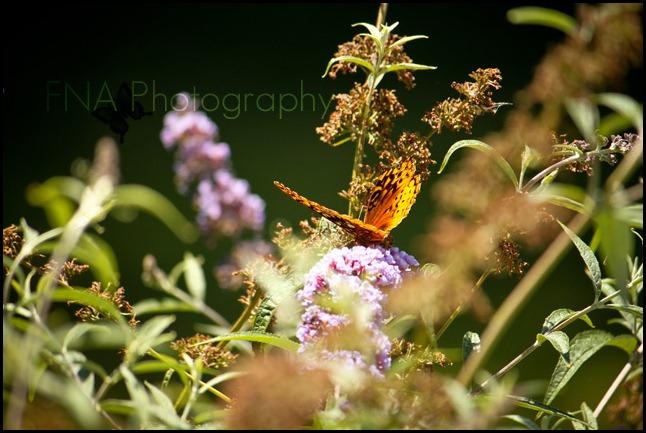 butterfly-14