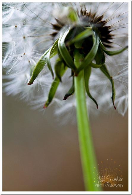 dandelions-3406